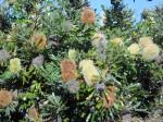 Photo of banksia